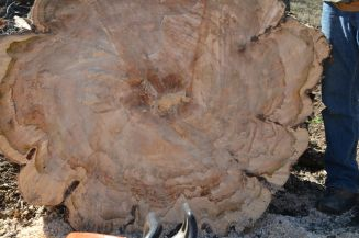 big maple stump2