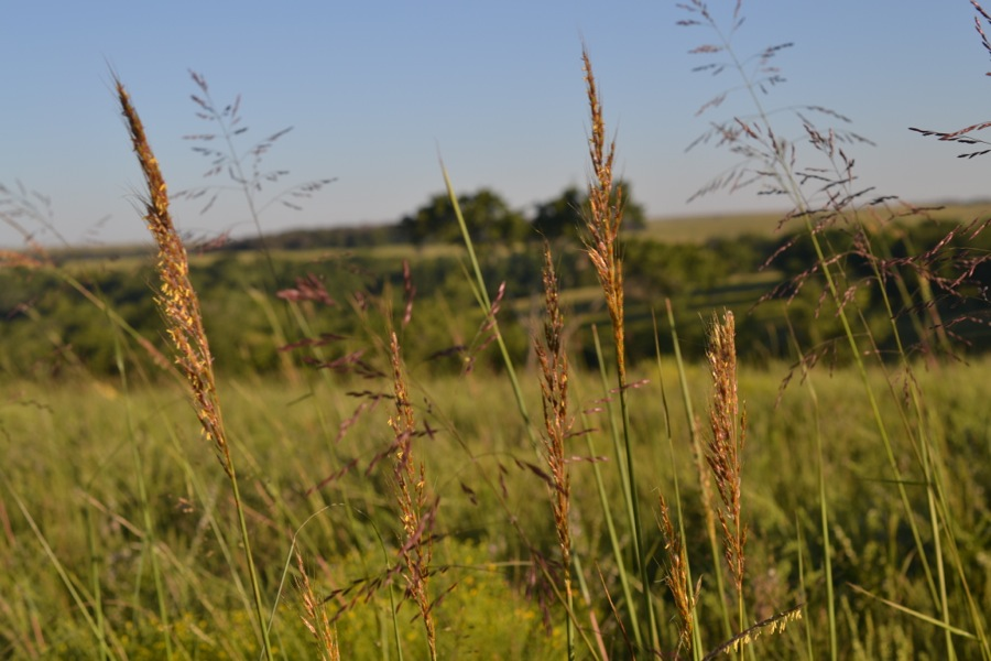 indian grass, Boaz KS