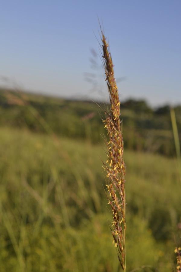 indian grass, Boaz, KS
