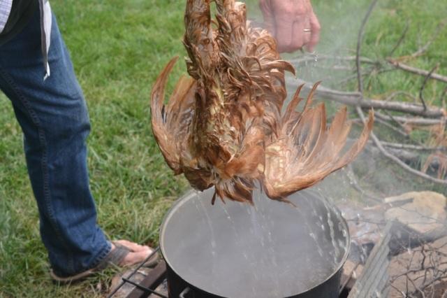 chicken butchering04