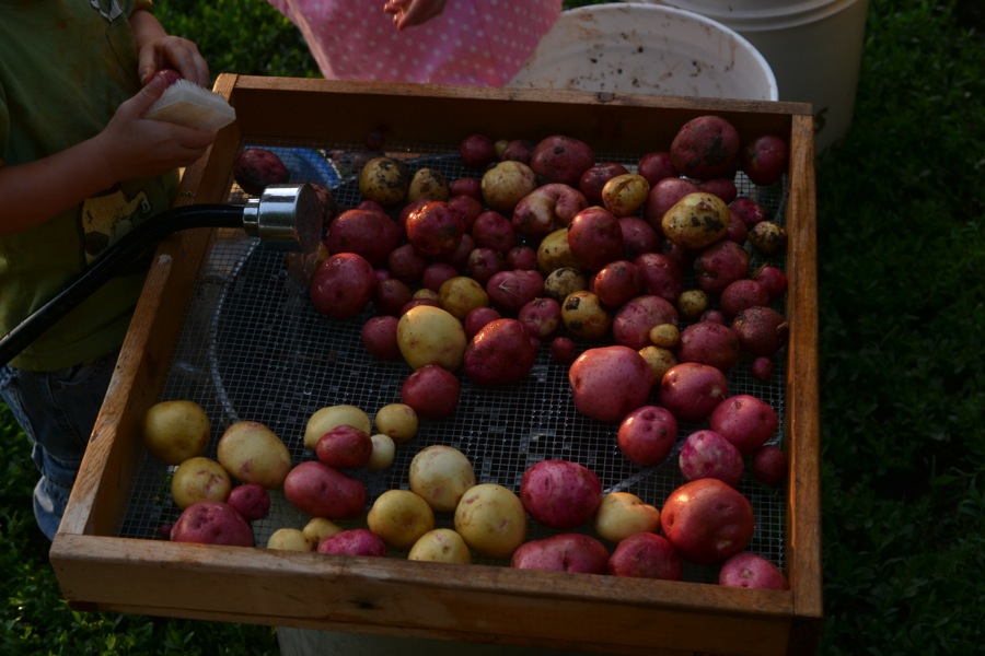 summer harvest31