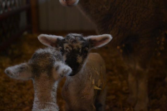 November Lambs14