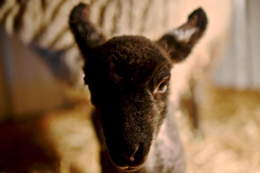 November Lambs18