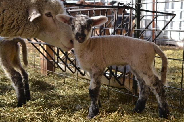 November Lambs19