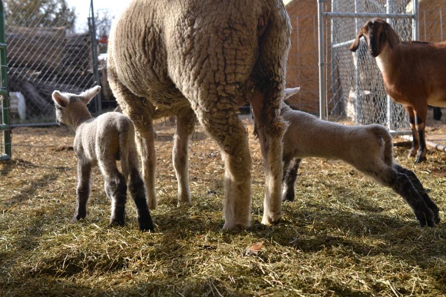 November Lambs20