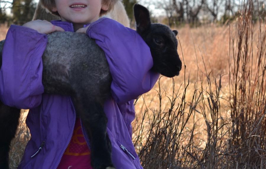 November Lambs24