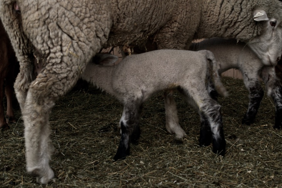 November Lambs27