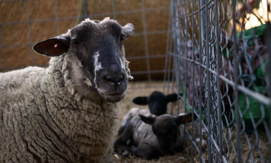 November Lambs28