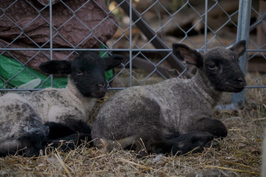 November Lambs29