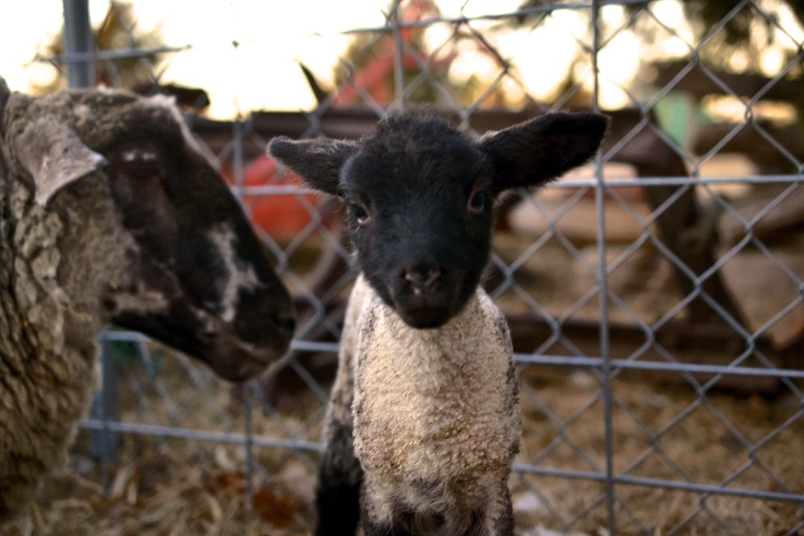 November Lambs30